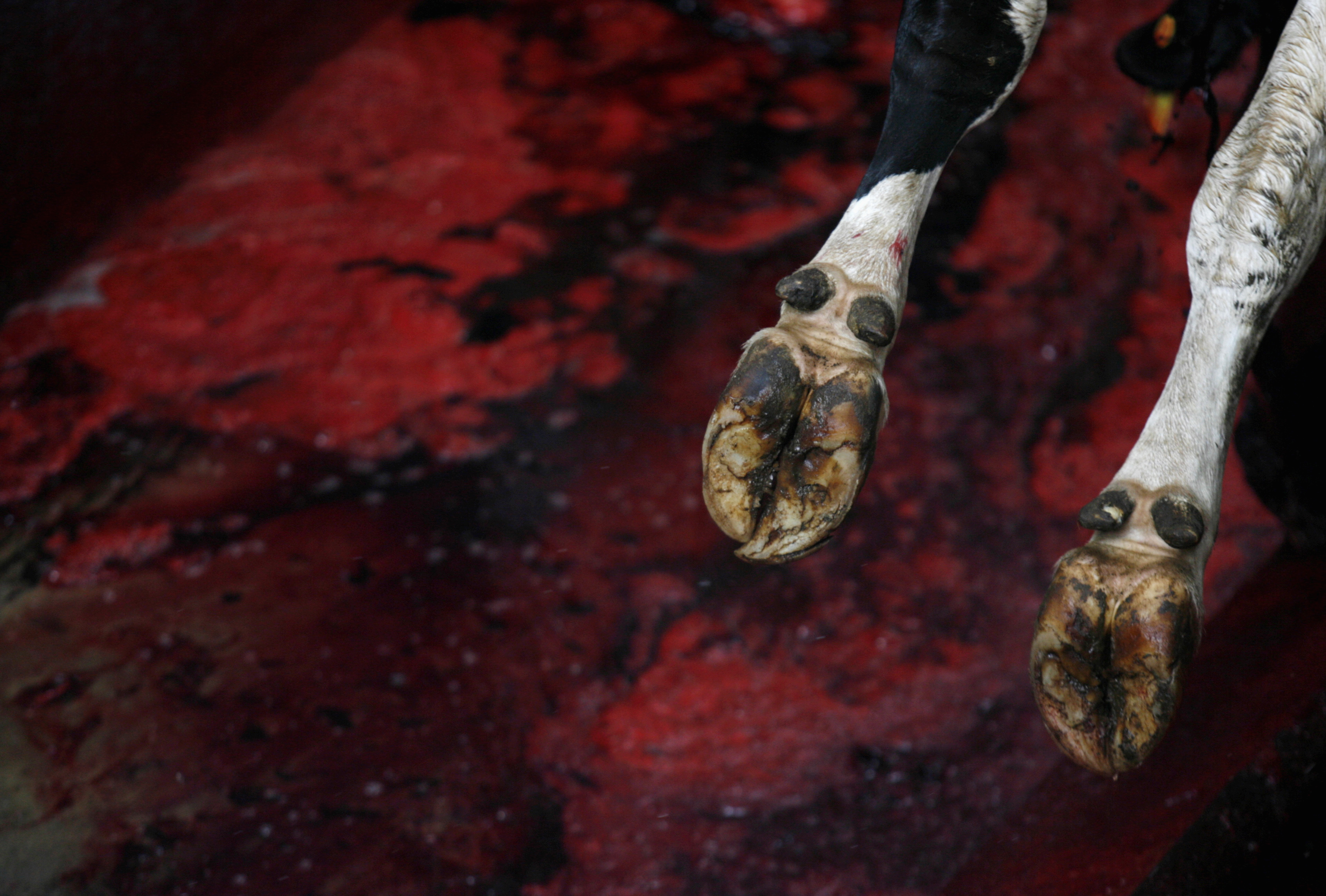 California Slaughterhouse Indicted Over Known Sale Of