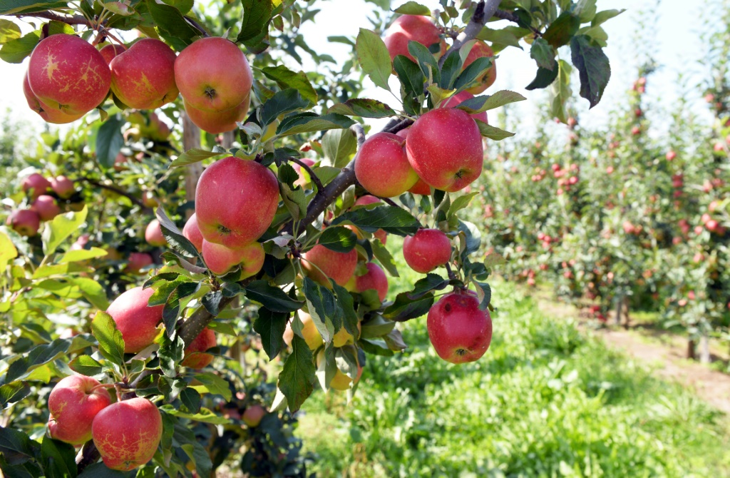 Apple Picking, a Perfect Fall Activity