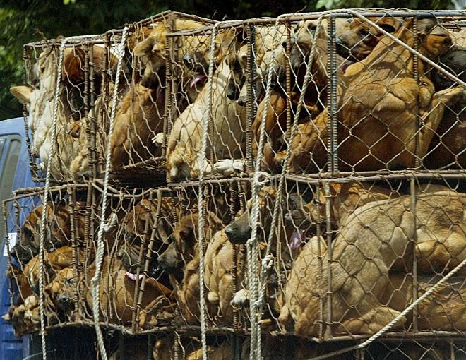 Dogs waiting to be sold as food are in kept in a cage on a truck in Songnam, about 50km (30 miles) south of Seoul July 29, 2004. While animal rights activists have condemned dog meat as a cruel treatment of the animals, it is still an accepted popular del
