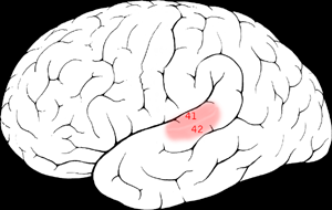 brain auditory cortex