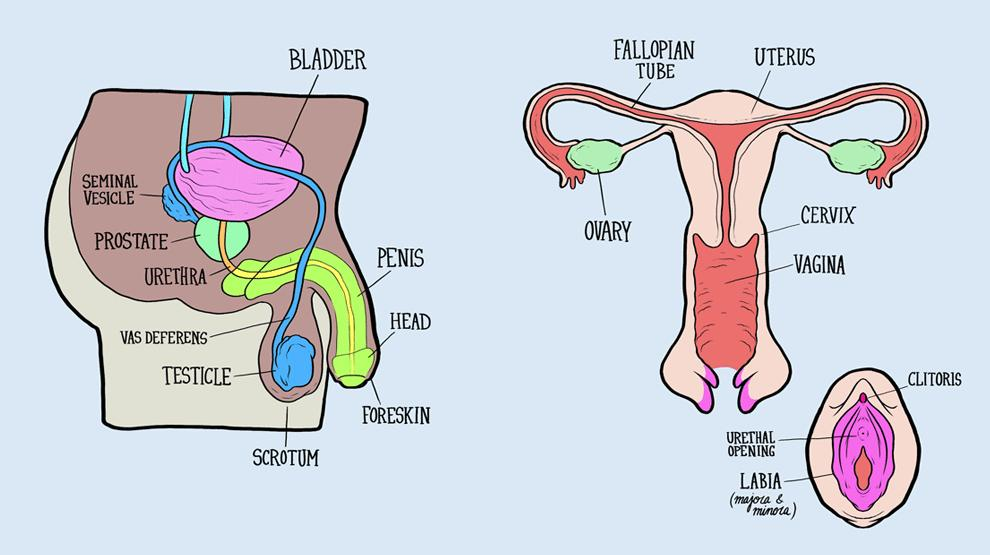 Male And Female Reproductive Systems Harder To Label For Some Than