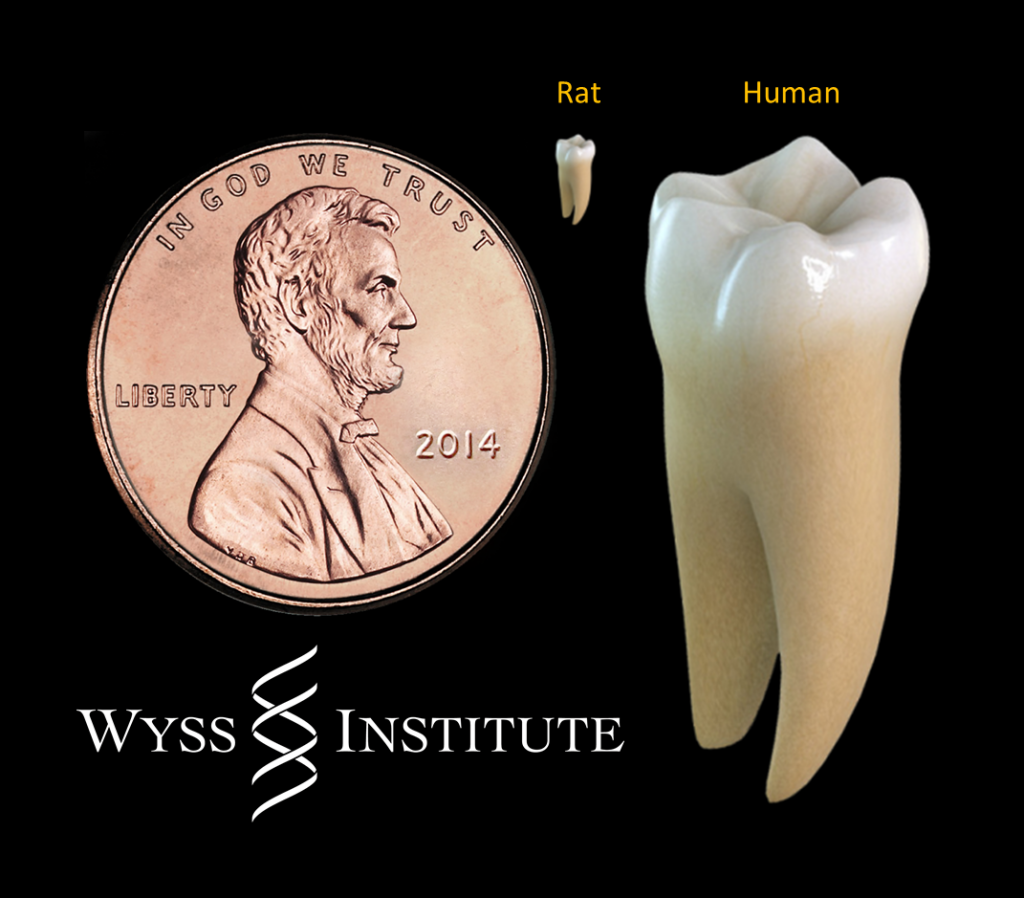 Regeneration Of Teeth Possible In Humans