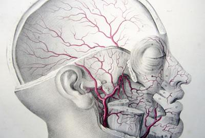 Arteries of the Face and Skull