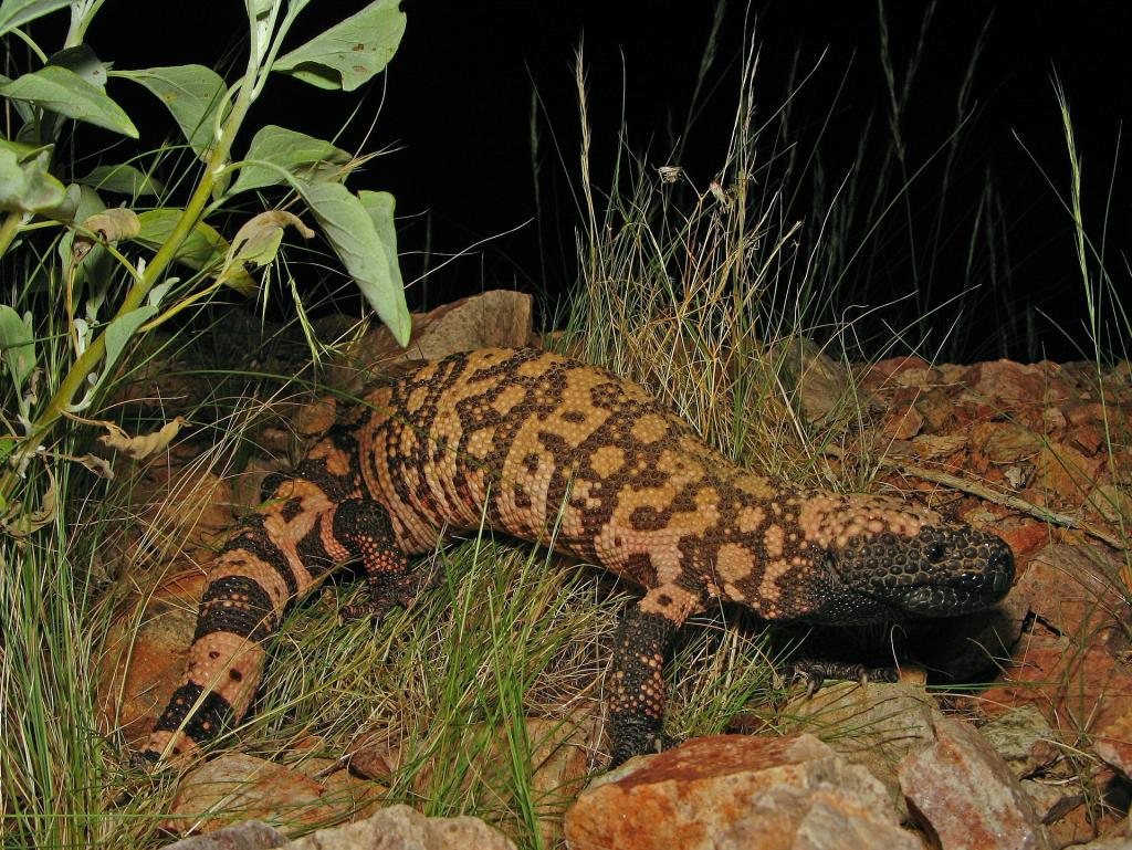 reticulate-gila-monster-86618_1920