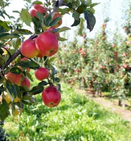 poland-is-europes-largest-producer-of-apples-poultry