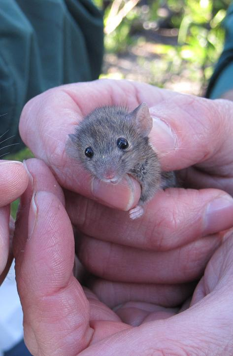 A picture of a house mouse.