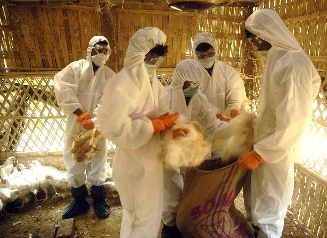 Health workers collect poultry for culling at a farm in Ishanpur village