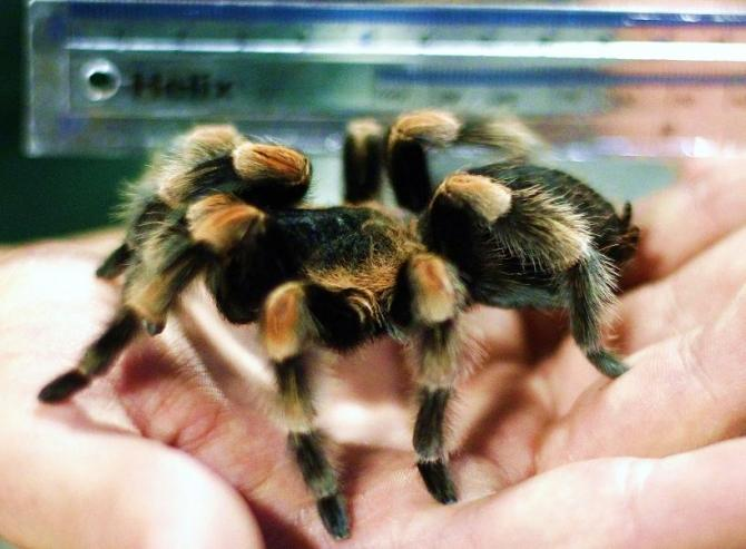 Zookeeper Mark Walpole holds a ruler against Jacqueline a Mexican Red Kneed Tarantula at London Zoo