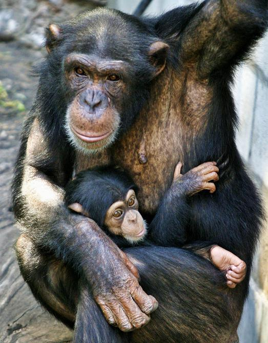A baby chimpanzee is held by its mother at the Buenos Aires' Zoo January 4, 2008.