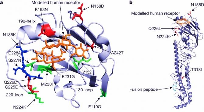 Localization of amino acid changes identified in this study on the three-dimensional structure of the monomer of VN1203 HA (Protein Data Bank accession 2FK0)