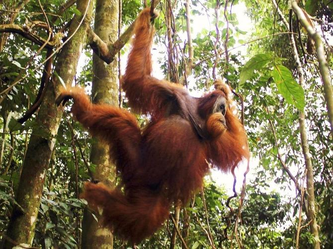 A male orangutan hangs from a tree in Gunung Leuser National Park in Langkat district of the Indonesia's North Sumatra Province February 12, 2012.