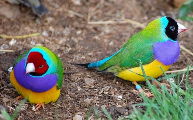 Gouldian finches have extremely colourful plumage with either red, black, or - rarely - yellow-coloured heads.