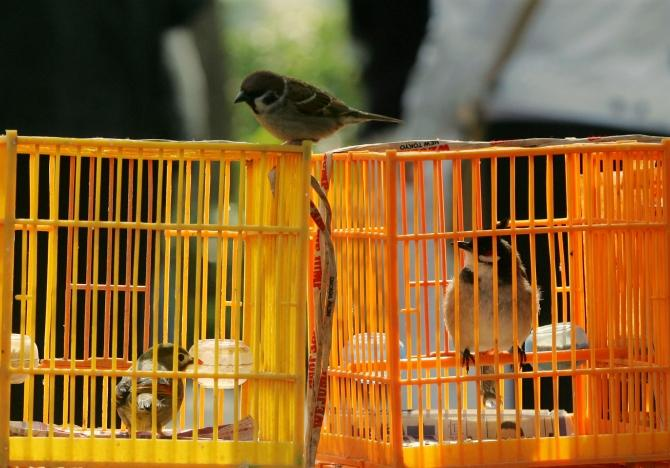 A wild bird rests on top of caged birds at Bird Street Garden, Hong Kong