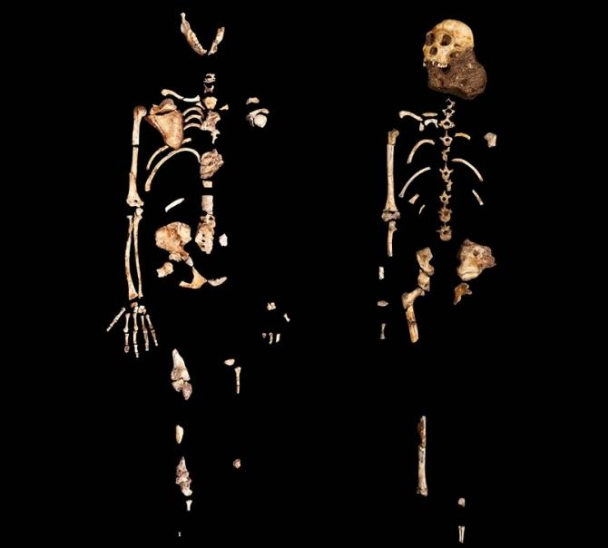 Two partial skeletons of Australopithecus sediba. The one on the left represents an adult female, the one on the right a juvenile male nicknamed Karabo.