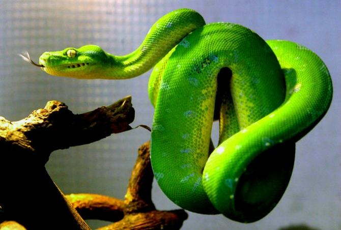"Pythons (like the green tree python pictured here) and boa constrictors infected by the highly contagious ""mad snake disease"" tie act in bizarre ""drunken"" ways and tie themselves into tangles they cannot get out of."