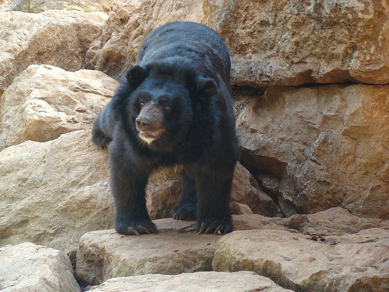 Champa, The First Bear To Undergo Brain Surgery