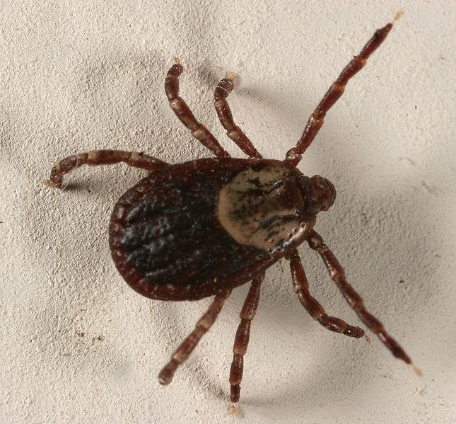 Vaccine for Lyme Disease
