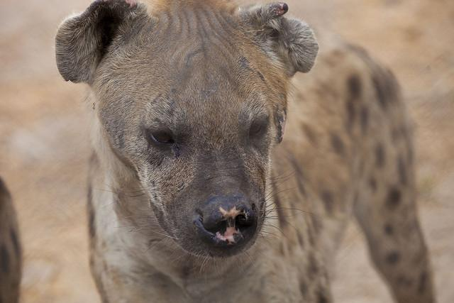 Hyenas Lived In Canada's Arctic Region During Ice Age