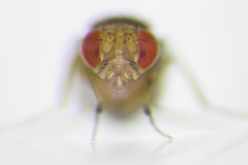 The Fly Is Less Aggressive When Not Competing For Females