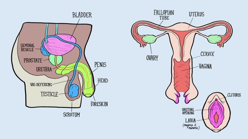 Male And Female Reproductive Systems Harder To Label For Some Than ...