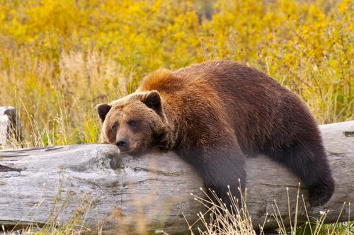 Grizzly Bear Hibernation Biology May Be Key To Diabetes