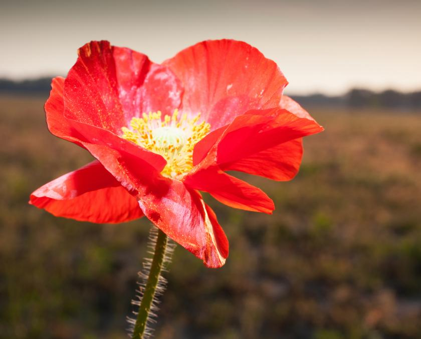 Poppy gene discovery could lead to home brew morphine the pros the identification of a poppy flower gene may pave the way for home brewed heroin photo courtesy of shutterstock mightylinksfo Images