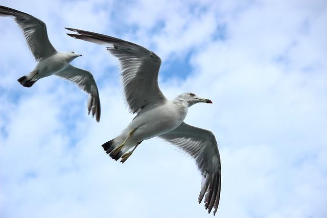 Scientists fear seagulls carrying mcr 1 gene will worsen threat of seagull altavistaventures Image collections