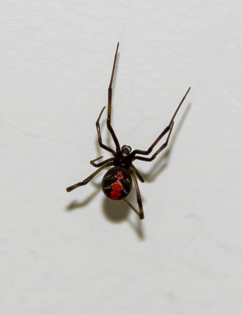 red-backed-spider-683549_1920