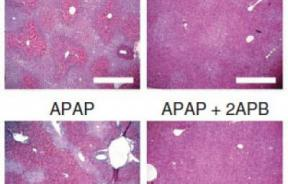 Gap Inhibitor Reduces Liver Damage