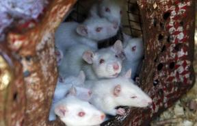 White mice live in a tin surrounded by sawdust in Salah Tolba's house in Giza, June 27, 2009, as part of a collection of wild birds and reptiles which Tolba breeds and supplies to scientific research centers.
