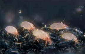House dust mites (Dermatophagoides pteronyssinus).