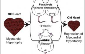 Blood Hormone Makes Aged Mouse Hearts Young Again