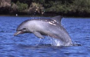 Dolphins, manatees and other marine life perish in Indian River Lagoon