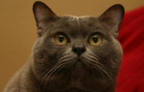 Discovery Of The Cause of Cat Allergies Brings With It Promise Of Cure