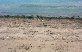 Horseshoe Crab Populations In Decline, But Medically Valuable