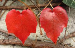 Heart-shaped leaves