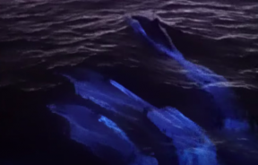 Glowing Dolphines